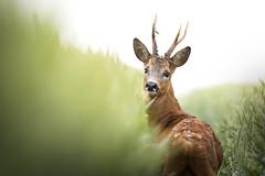 DSC_2143 (Etienne-Laetitia) Tags: chevreuil brocard nat nature nikon nikond500 tamron photography picture picardie wildlife wild animaux