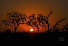 Tramonto africano (Fil.ippo) Tags: sunset tramonto kruger park parco sudafrica southafrica savana savannah d7000 nikon filippo filippobianchi trees alberi sun sole orange arancione skukuza national nazionale