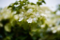 Hydrangea (judy dean) Tags: 2018 judydean sezincote velvet56gardens plants lensbaby hydrangea