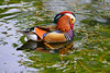 COLOURFUL DUCK (GA High Quality Photography) Tags: animal nature beauty beautiful love happy cute summer art fun amazing stunning photography wildlife new popular domesticanimal