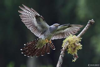 DSP03025 - Cuckoo ♂ (Cuculus canorus)