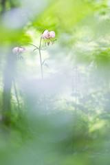 océan de verdure (Colin Pellerin) Tags: lys martagon bokeh vert couleur macro proxi nature bourgogne colin pellerin cpl 100d ambiance