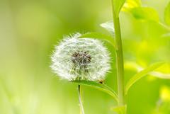 Löwenzahn - Pusteblume -  dandelion (thorvonassgard) Tags: löwenzahn blume pflanze natur farben grün weis stängel blätter nahaufnahme makro dandelion flower plant nature colors green white stems leaves close up macro