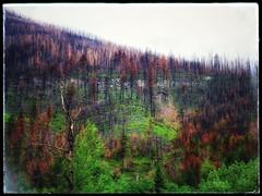 Regeneration (Edna Winti) Tags: ednawinti mountainside trees burn forestfire alberta watertonlakesnationalpark kenowfire watertonwildflowerfestival2018