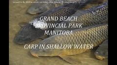 CARP & SEAGULLS (Janalene) Tags: fish bird seagull carp water shallow eating alive dead stranded feast death lake stream