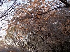 P3242898 (Dr. Fieldgood) Tags: washington dc national cherry blossom festival spring flowers mall
