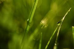 Morning Dew (flashfix) Tags: june152018 2018inphotos ottawa ontario canada nikond7100 40mm grass macro dew droplet yard nature mothernature bokeh 2minutemacro naturephotography flashfix flashfixphotography