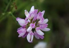 Wild Flower (Hugo von Schreck) Tags: hugovonschreck wildflower wildblume flower blume blüte macro makro canoneos5dsr fantasticnature tamron28300mmf3563divcpzda010