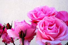 Rosas (António José Rocha) Tags: portugal sobraldesãomiguel aldeiaflorida rosas beleza flores