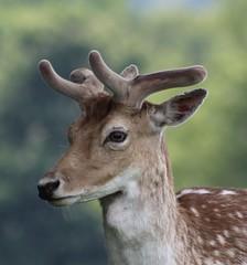 Baby deer at Tatton Park, Knutsford (vickyouten) Tags: knutsford tattonpark nature bbcspringwatch springwatch wildlife deer doe babydeer