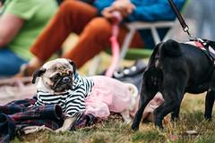 PugCrwal-40 (sweetrevenge12) Tags: portland oregon unitedstates us pug parade crawl brewing sony pugs dog pet