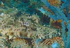 Flathead Crocodilefish (oceanzam) Tags: scuba diving water beach ocean sea shore holiday travel nature shadow dark light color fish crocodile shoreline muck philippines coral reef eyes earth