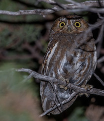 Elf Owl (Micrathene whitneyi) (NigelJE) Tags: hereford arizona unitedstates us elfowl owl micrathenewhitneyi micrathene strigidae nigelje ramsaycanyon