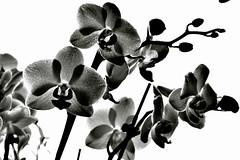 Orchids (Zanahr) Tags: flower flowers orchids nature nikon mono monochrome blackandwhite explore