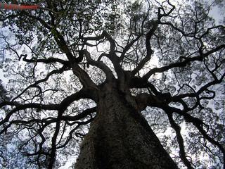 Cariniana legallis (Lecythidaceae), Parque Estadual de Vassununga, Santa Rita do Passa Quatro, SP, Brasil