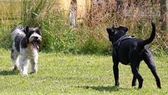 Nach langer Zeit spielt Lenny wieder mit. (rentmam1) Tags: dogs hunde