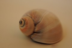 Moon Snail shell (Folly Fotos) Tags: shell sea ocean marine snail