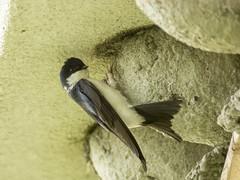 P6020974 (turbok) Tags: mehlschwalbe schwalbe tiere vögel wildtiere c kurt krimberger