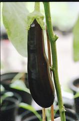 Eggplant (Hf-Photo) Tags: analog analoog analogfeatures analogue thefilmcommunity filmphotographer filmshooters filmcommunity filmisalive filmisreal fuji200 film