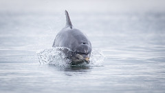 Salmon Hunting (Bondy Taylor) Tags: dolphin outdoor scotland wildlife beach lowangle nature water waves wild