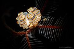 Dunkin Donut (Christian Gloor (mostly) underwater photographer) Tags: nudibranch donut doto greenamyeri tulamben bali indonesia snoot retra diving underwater