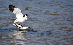 Mating Avocets. (Chris Kilpatrick) Tags: chris canon canon7dmk2 sigma150mm600mm sigma animal bird mating avocet salbufera nationalpark mallorca outdoor wildlife lake