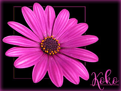 In the Pink!! (Koko Nut, it's all about the frame) Tags: pink black bloom flower frame framedflower koko kokonut wonder
