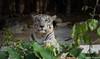 White Tiger in the Woods (SarjakThakkar) Tags: tiger whitetiger white woods wood jungle forest forests wild wildlife wilderness tree trees rock rocks water majestic evening beautiful beauty
