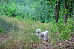 """Come faster! I'm curious what is on the end of this path!"" ;) (green_lover (I wait for your COMMENTS!)) Tags: fela dog dogs pets maltese animals forest path trail green grass"