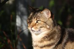 Daisy soaking up the morning sun (RossCunningham183) Tags: daisy tabby cat backyard sun sunshine whiskers