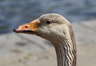 close up greylag goose