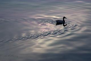 Duck in Babbacombe Harbour