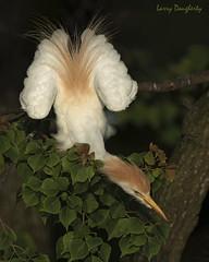A cattle egret protects his limb!!!......D800 (Larry Daugherty) Tags: egret cattleegret anamalia chordata aves ciconiiformes ardeidae bubulcus bibis bubulcusibis ripvanwinklerookery jeffersonisland southcentrallouisiana nikond800 nikon d800 nikon500mmf4lens bird louisiana iberiaparish