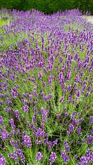 Lavender (grinnin1110) Tags: mainz rhinestreet de deutschland rhinepromenade flowers blossoms germany outdoor rheinpromenade evening rheinstrase blooms rhinelandpalatinate flora garden lavandulaofficinalis lavender europe lavendel rheinlandpfalz