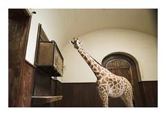 R0000373 (Jordane Prestrot) Tags: ♋ jordaneprestrot bâle basel zoo giraffe girafe jirafa girafa desseincaptif captivedesign