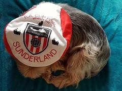 If the cap fits (katy1279) Tags: smileonsaturday hatsandco yorkshireterrieryorkiecutedogsunderlandfootball