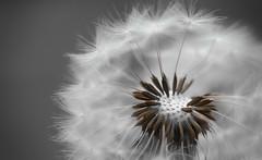 spreading (Uniquva) Tags: dandelion flower selectivecolor macro