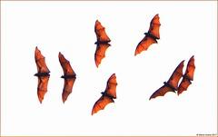 Lyle's Flying Fox (Pteropus lylei) (Steve Arena) Tags: kohsamet thailand thailandbirding2017 2017 nikon d750 bird birds birding rayong lylesflyingfox pteropuslylei bat fruitbat mammal holyshit