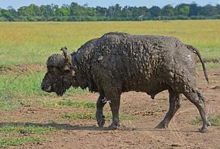 Muddy Cape Buffalo - 5478b+