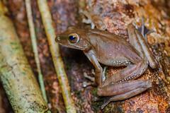 Polypedates megacephalus, Spot-legged tree frog - Khao Chamao Waterfall, Khao Chamao - Khao Wong National Park (Rushen!) Tags: khaochamaokhaowongnationalpark polypedates polypedatesmegacephalus spotleggedtreefrog amphibia frog treefrog rushenbilgin amphibian nikon d800 tamron tamron90mm 90mm thailand
