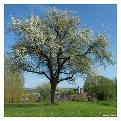 Printemps à Saint-Aubin-Château-Neuf - Val d'Ocre (89) (Jeanne Valois 64) Tags: france bourgogne saintaubinchâteauneuf valdocre yonne bourgognefranchecomté printemps village clocher fleur