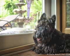20180529  Miss Maggie14116-Edit (Laurie2123) Tags: fujixt2 laurieturnerphotography laurietakespics laurie2123 maggie missmaggie momsbackyard scottie scottishterrier blackscottishterrier blackdog ddc2018 ddc dailydogchallenge windiw