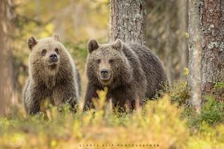 Bruine beer / Brown bear / Ours brun