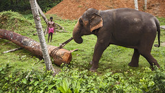 Working Elephant India (Sharpshooter Alex) Tags: india indian elephant asia log working animal man travel grass pulling male