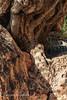 old Olive tree ' more then 2000 year (safou1987) Tags: racines amazighen histoire civilisation olives wild bois arbre montagne