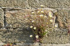 Fleurs dans la muraille, Brest, Bretagne, France - 6036 (rivai56) Tags: brest bretagne france europe fr fleurs dans la muraille