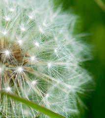 DandelionClose (Ian Barnaby) Tags: macro dandelion closeup crop flowers nature northumberland nikondreams green bokeh