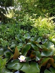 2018-06-03_02-21-26 (couleurs gm) Tags: penélope mygarden nénuphars garden
