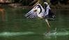 HAB` IHN !/GOT IT ! (babsbaron ( Bella )) Tags: nature animals tiere vögel vogel birds reiher fischreiher heron zoo duisburg canon eos