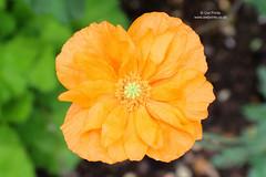 Papaver rupifragum 'Flore Pleno' (Owl Prints) Tags: mygarden papaverrupifragumflorepleno poppy poppies orange orangeflowers papaver flowers